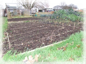 Not much to see just now, but this is where I planted the onions and cabbage. The onions are marked out with string, so I know where to weed